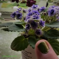 Optimara 'Little Moonstone' African violet